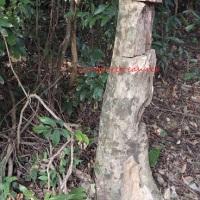 土沉香 agar wood (aquilaria sinensis )