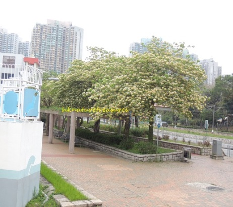 tin sui wai spider trees